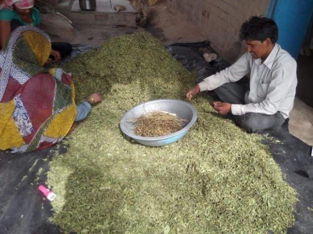 Листья стевии из Индии купить оптом