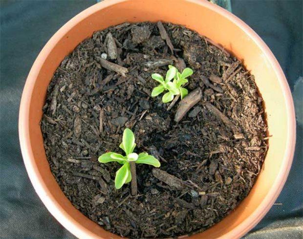 Как выращивать стевию из семян в домашних условиях?